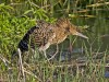 …to coastal mangroves, home to the impressive Bare-throated Tiger-Heron.