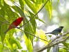 Northbound migrants may include Scarlet Tanager (here with a local Golden-hooded Tanager)…