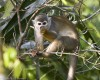 …or the endearing Squirrel Monkey.