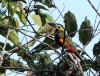 And if we're even luckier, Golden-collared Toucanet might appear.