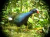 …comical Purple Gallinules… (rh) Credit: