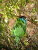 …to the camouflaged Blue-throated Barbet…