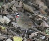 …the superb Siberian Rubythroat…