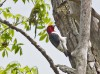 Red-headed Woodpecker is a local species this far east, but at Oak Openings they are common.