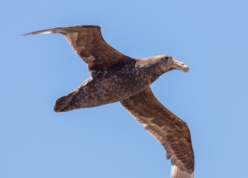 Southern Giant Petrels pass by closely along the cliffs…