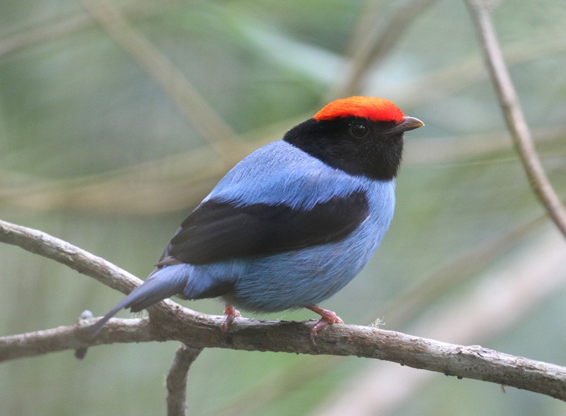 Birding will be superb with exquisite birds such as Swallow-tailed Manakin…