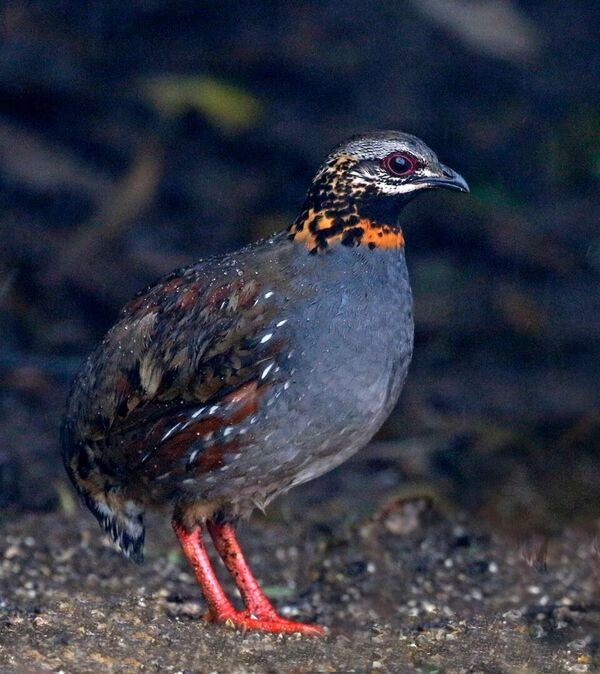 Here too we'll search for skulking species such as Rufous-throated Partridge…