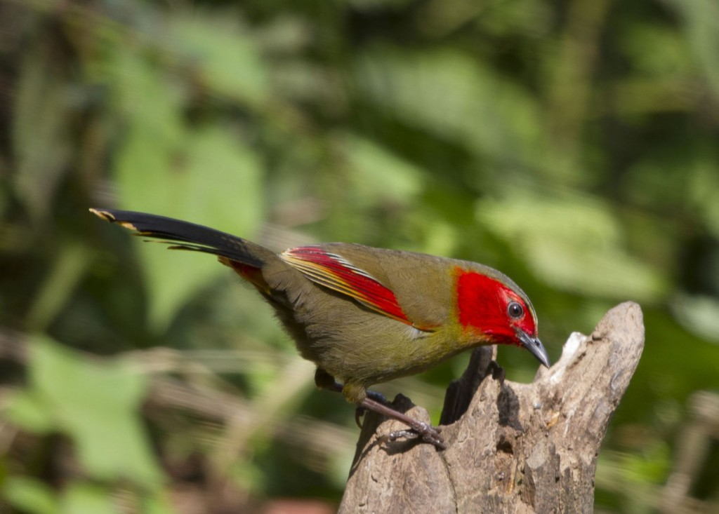 Scarlet-faced Liocichla is quite common around Ruili…