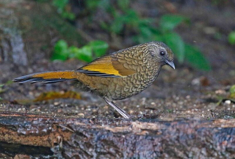 …and Scaly Laughingthrush.