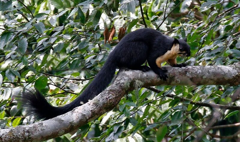 …while Black Giant Squirrel can be seen crashing around the trees.