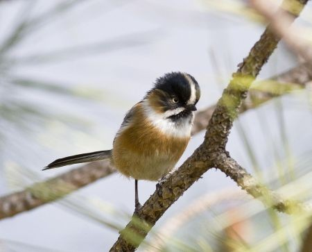 …and the poorly-known Black-browed Tit.