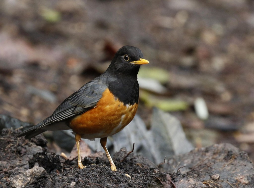 On reaching historic Lijiang, Black-breasted Thrushes…