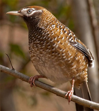 …and it is here that we hope to see the recently-discovered, and little-known, White-speckled Laughingthrush.