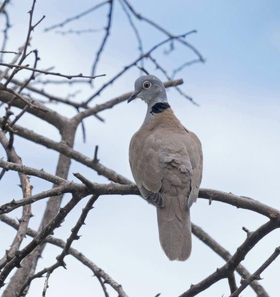 such as African White-winged Dove.