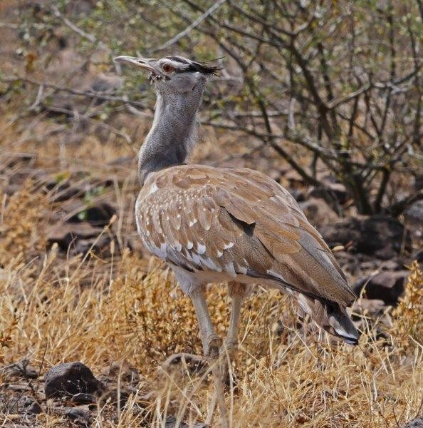 and the wonderful Arabian Bustard - the Awash region is probably the best place in the world to see this rare species.