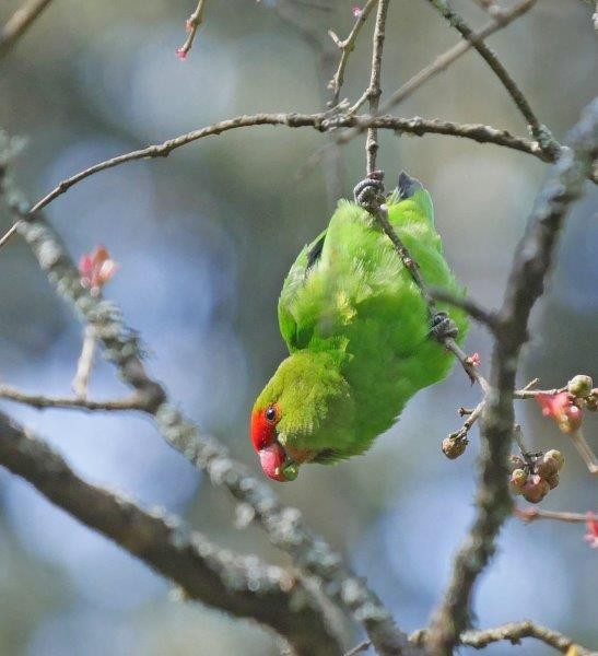 and the endemic Black-winged Lovebird.