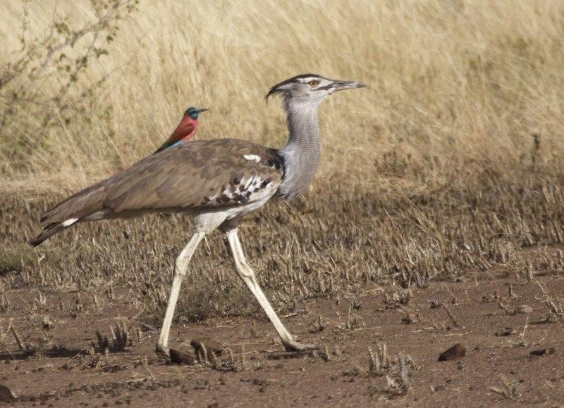 and is also an excellent place to see Kori Bustard, which with luck will be carrying a passenger!