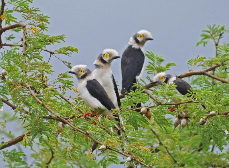 Leaving Negelle we travel to Yabello, another journey that has plenty to stop for, such as these White-crowned Helmet Shrikes,..