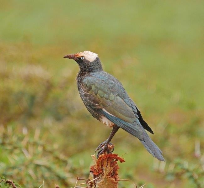 White-crowned Starling,..