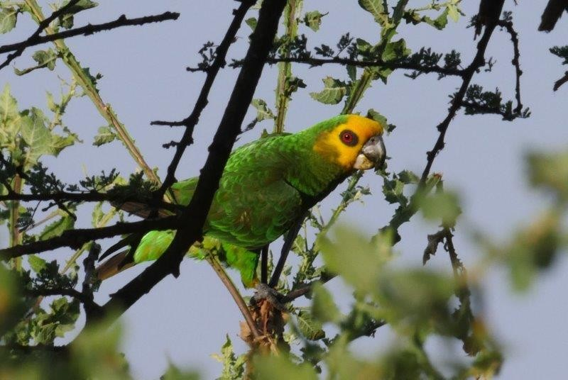 We end our tour with a relaxing stay at a luxury lodge on the shores of Lake Langano, where our last endemic species may well be the endearing Yellow-fronted Parrot.