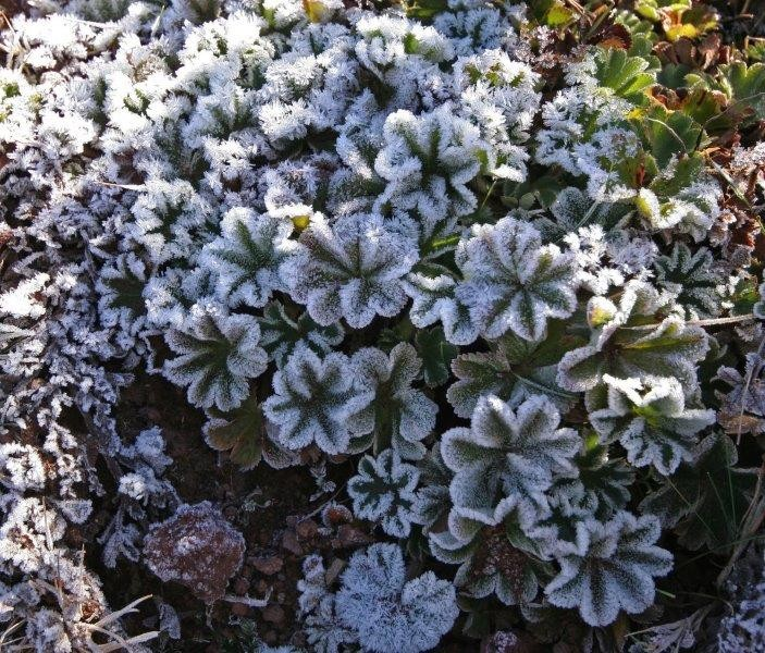 The flora up here is very interesting - here morning frost covers a species of Alchimilla (lady's mantle).
