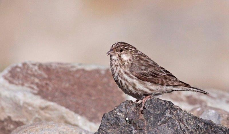 It was here, in 1976, that the endemic Ankober Serin was discovered.