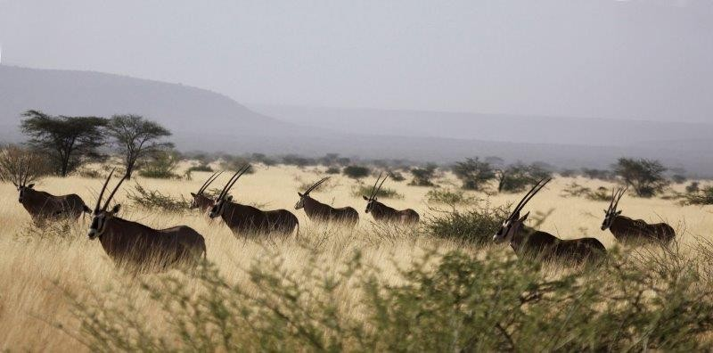 The grassland is home to  herds of Beisa Oryx,