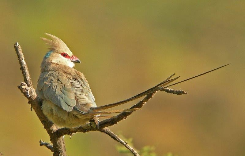 This dry country has some special birds, such as Blue-naped Mousebird,..