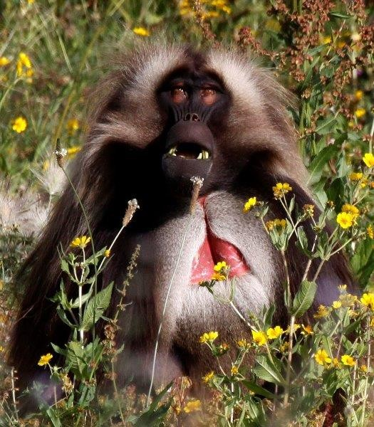 And this is also a great place to see the bizarre Gelada baboon.