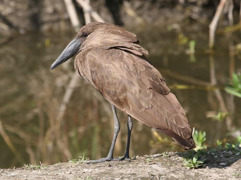 Some species such as this Hamerkop can be incredibly confiding.