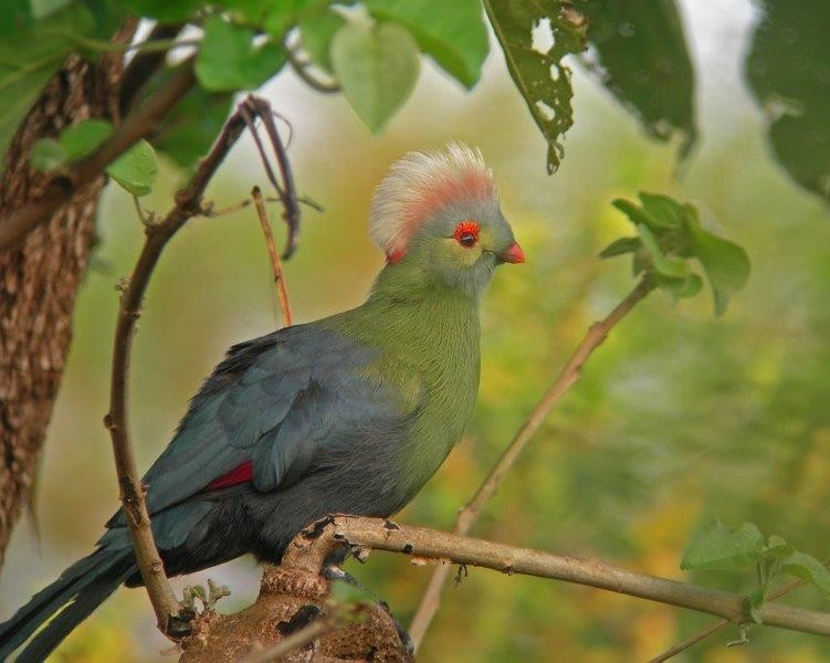 This journey takes us into the realm of one of Ethiopia's most fabled birds -  Prince Ruspoli's Turaco