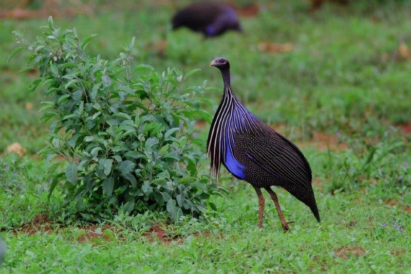 and the electric-blue Vulturine Guineafowl.