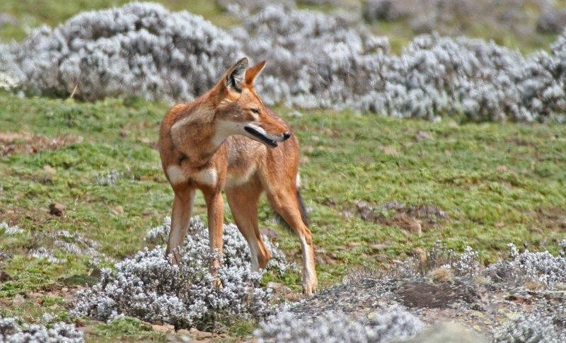 But of course the star of this Afro-alpine enviroment is the Ethiopian Wolf.