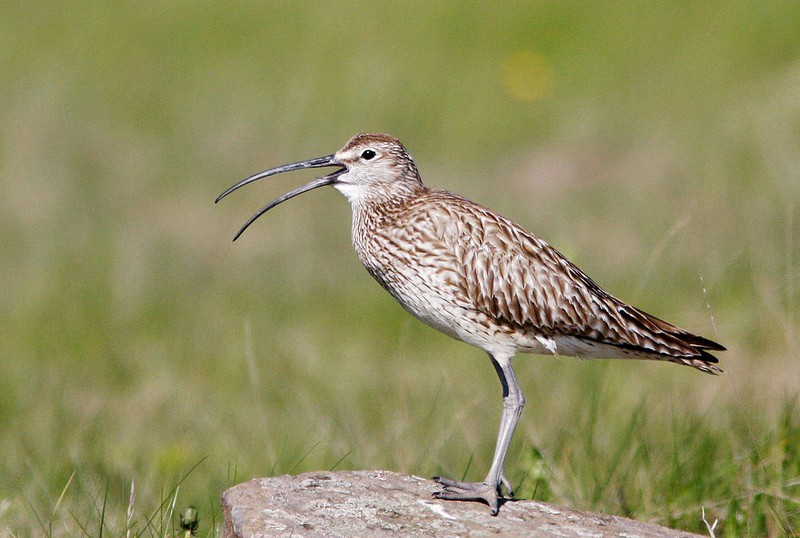 …among the more numerous local birds, including Whimbrels of the european race <em>phaeopus</em>.