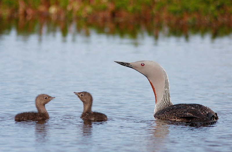 …which will provide us with decent views of Red-throated Loons…