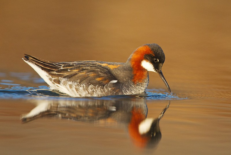 …only to be distracted by Red-necked Phalaropes which are omni-present around the country.