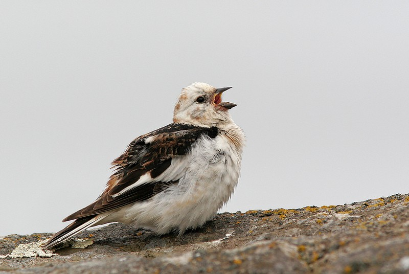 Other incredible tame birds of Flatey include Snow Buntings of the Icelandic race <em>insulae</em>…