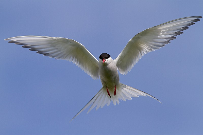 …and not so friendly Arctic Terns.