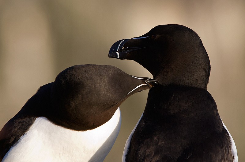 …as well as Razorbills spending quality time.