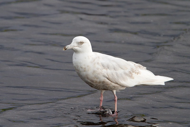 Careful scanning of flocks of gulls in towns and near harbours may reveal one of a very few summering Iceland Gulls of the nominate race <em>glaucoides</em>…