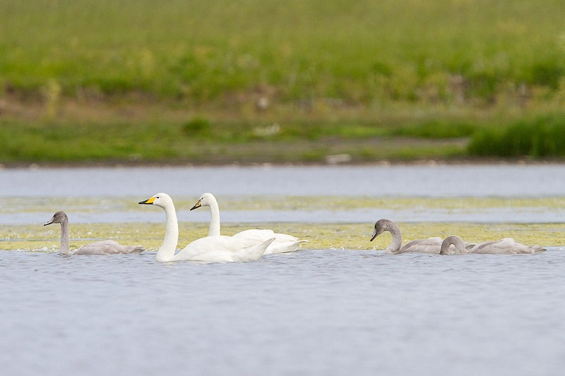 …alongside nesting Whooper Swans that are to be seen on most lakes.