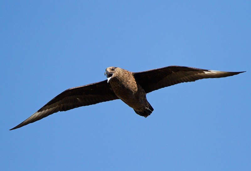 …while the northern coast is home to the Great Skua.