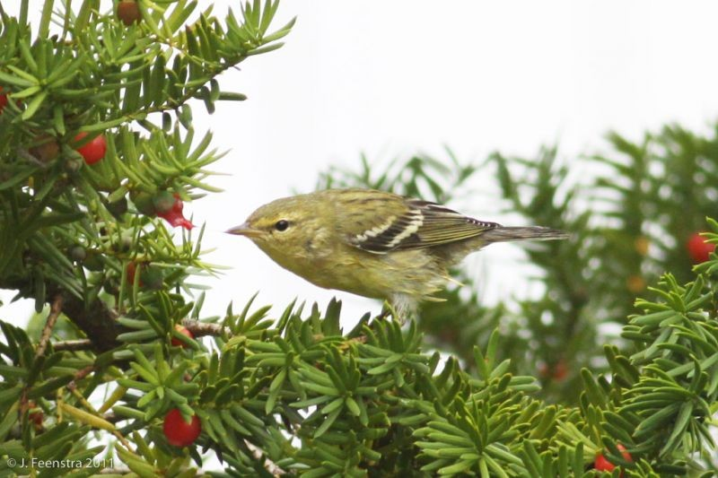 Some warblers stop to feed and rest, like this Blackpoll Warbler…