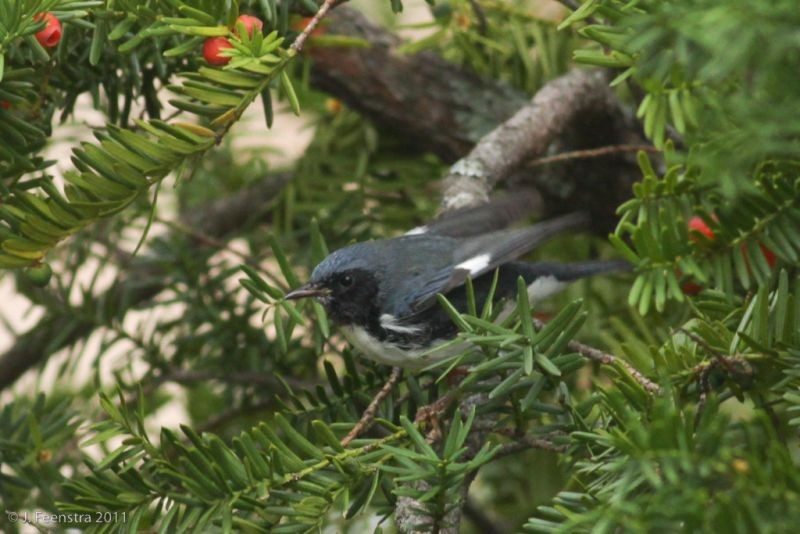 …or this Black-throated Blue Warbler…