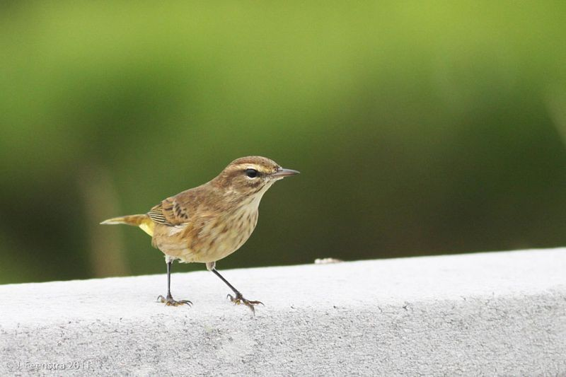 …the favorite haunts of the Palm Warbler.