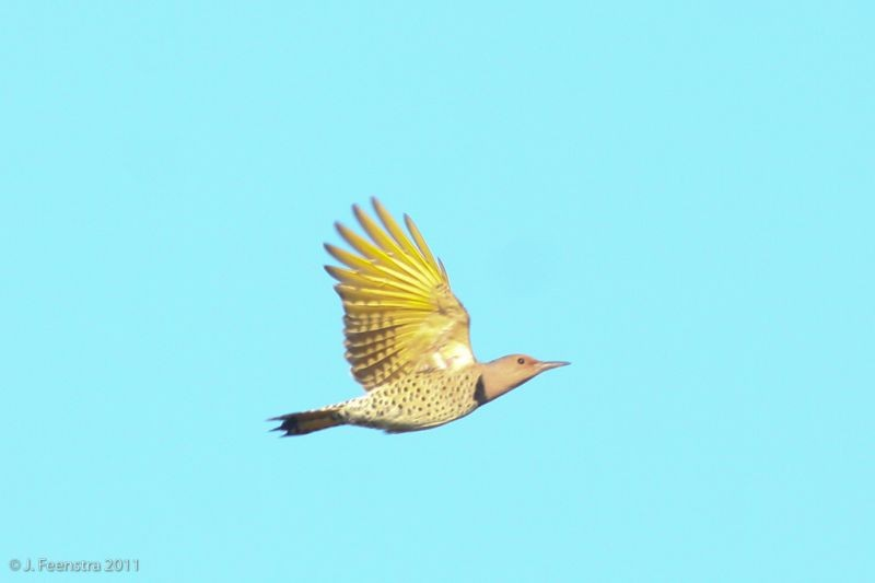 Woodpeckers, like Northern Flicker, are also migrants through Cape May.