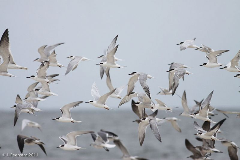 …where we'll have opportunity for close study of Common and Forster's Terns…