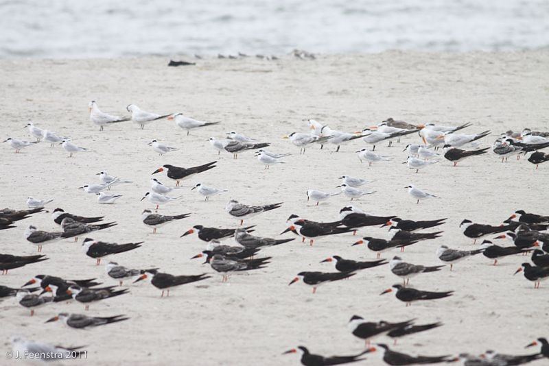 …and Black Skimmers and Royal Terns…
