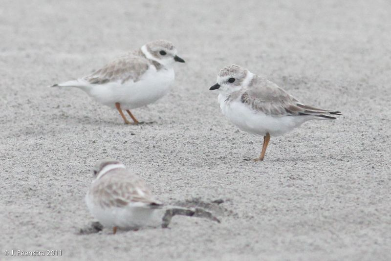 …as well as the endearing and endangered Piping Plover.