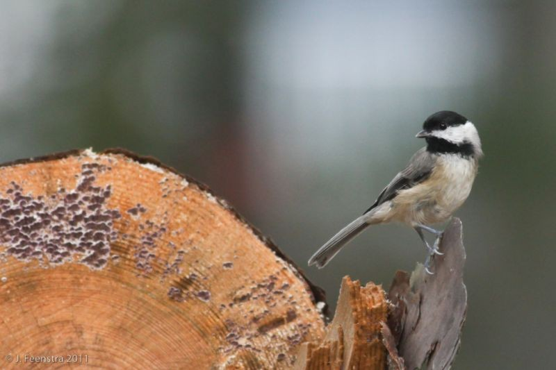 We'll return to Cape May for a final day of searching for migrants and residents, like this Carolina Chickadee…